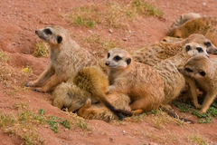 meerkats海岛猫鼬类suritcates 免版税库存照片