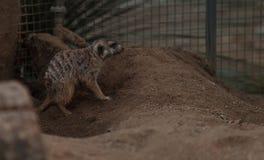 Meerkats,海岛猫鼬类suricatta 免版税库存图片