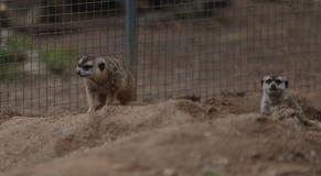 Meerkats,海岛猫鼬类suricatta 库存照片