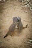 Meerkats étreignant dans l'amour Images libres de droits