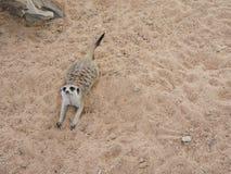 Meerkats που ανατρέχει Στοκ Φωτογραφίες
