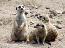 meerkats τρία Στοκ εικόνες με δικαίωμα ελεύθερης χρήσης