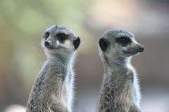 Meerkats или suricates наблюдающ окружать стоковая фотография