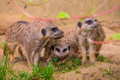 3 meerkats или семьи suricats на песке Стоковое Изображение RF