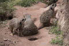 3 meerkats или семьи suricats Стоковое Изображение RF