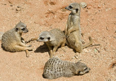 meerkats младенца Стоковые Фотографии RF