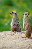 2 Meerkats на вахте Стоковые Изображения RF