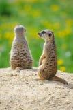 2 Meerkats на вахте Стоковое Фото