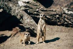2 meerkats на песке Стоковые Изображения RF