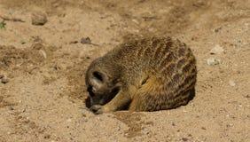 Meerkats на песке Стоковая Фотография