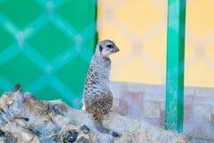 Meerkats на солнце Стоковая Фотография