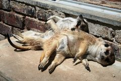 meerkats ослабляя Стоковое фото RF