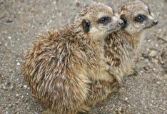 2 meerkats остаются теплыми Стоковые Фото