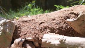 Meerkats пока выкапывающ и ищущ еду Видео крупного плана meerkats в диком акции видеоматериалы