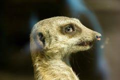 Meerkats смотрит на смотреть что-то Стоковое Фото