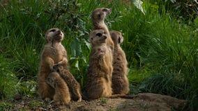 Meerkats стоя на их ногах Стоковые Фото