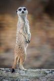 Meerkats -海岛猫鼬类suricatta 免版税库存照片