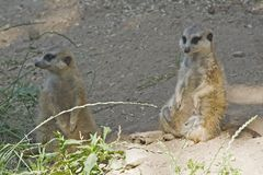 Meerkats. Two sitting meerkats stock photo