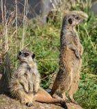 Meerkats Стоковое Фото