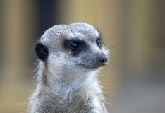 Meerkats Foto de Stock Royalty Free