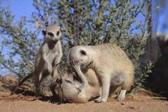 Meerkats Royalty Free Stock Photos