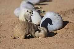 Meerkats Stock Image