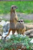 Meerkats Obrazy Royalty Free