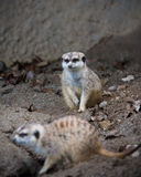 Meerkats Royalty-vrije Stock Afbeelding