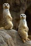 Meerkats Lizenzfreie Stockfotos