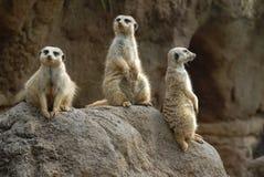 Meerkats Lizenzfreie Stockbilder