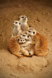 Meerkats. A family of meerkats huddles together for warmth Stock Images