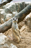 Meerkats. Is standing and looking Stock Photography