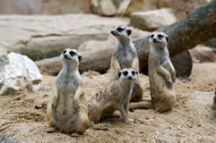 Meerkats. Foto de Stock Royalty Free