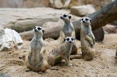 Meerkats. Royalty-vrije Stock Foto