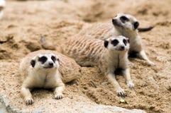 Meerkats. Royalty Free Stock Photos