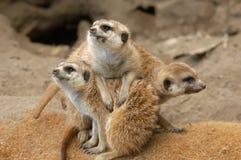 Meerkats Fotografía de archivo libre de regalías