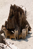Meerkats Royalty Free Stock Images