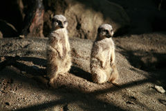 Meerkats 2 Royalty Free Stock Photography