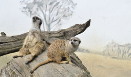 meerkats二 免版税库存图片