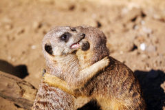 Meerkats. Couple of curious meerkats playing in the sand royalty free stock image
