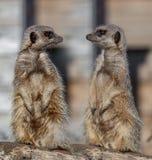Meerkats Fotografia Stock
