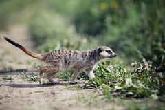 Meerkats. Walk in green grass Stock Photos