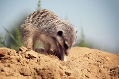 Meerkats. Digging in the sand Stock Photography