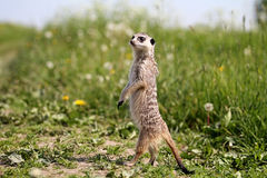Meerkats. Meerkat stand on legs in grass Royalty Free Stock Images