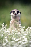 Meerkats. Pretty Meerkat look at you Stock Photos
