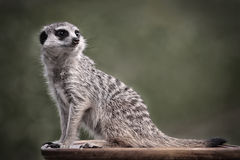 Meerkats. Sit on brown table Royalty Free Stock Images