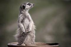Meerkats. Sit on brown table Stock Photos