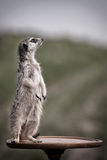 Meerkats. Stay on brown table Royalty Free Stock Photography