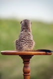 Meerkats. Sit back on antique table outdoor Stock Photography
