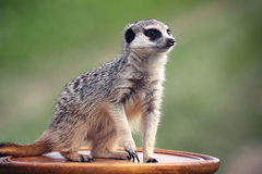 Meerkats. Stay on brown table Stock Photo